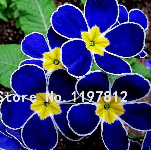 Promotion!!! 100 Evening Primrose- Blue Evening Primrose,fragrant DIY Home Garden flower hardy plant,Free Shipping(China (Mainland))