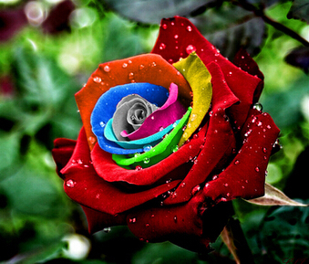 Mystic Rainbow Rose Bush Flower Seeds 200 Stratisfied Seeds Free Shipping, bonsai potted plants supply for home & garden(China (Mainland))