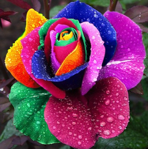 Free shipping 100 Seeds Rare Holland Rainbow Rose Flower Lover Multi-color Plants Home Garden rare rainbow rose flower seeds(China (Mainland))