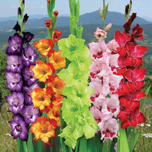 100 Pcs/Bag Different Perennial Gladiolus Flower Seeds, Rare Sword Lily Seeds Very Beautoful For Home Garden Planting