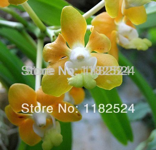 Карликовое дерево 100 /denisoniana /phalaenopsis карликовое дерево china seeds dionaea muscipula
