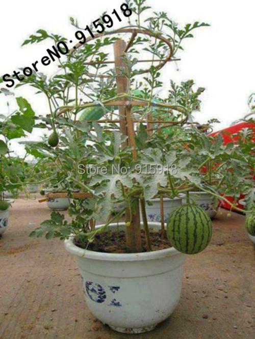 fruit bonsai seeds 10pcs watermelon plant quot baby flower quot citrullus lanatus non gmo seeds