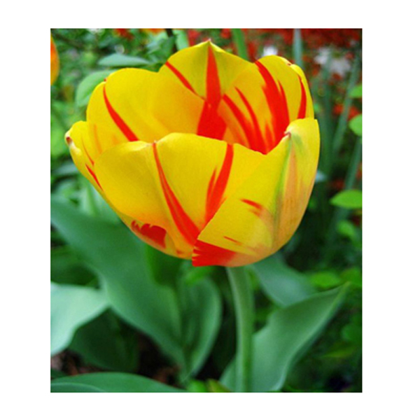 Unique new yellow + red blood pattern petals tulip flowers Armenia seed potted bonsai garden courtyard terrace 120PCS(China (Mainland))