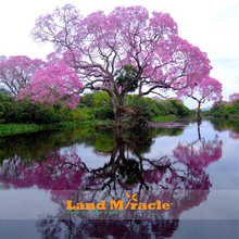 Buy 50 Seeds/pack, Paulownia Seeds Princess tree empress tree Pink Flower fragrant Home & Garden Tree Seeds Planting for $1.70 in AliExpress store