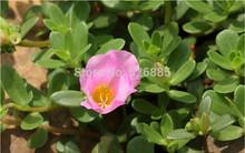 Purslane seeds, Portulaca oleracea, wild Purslane vegetable seeds - 100 Seed particles(China (Mainland))