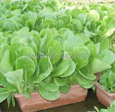 Free Shipping Green Vegetable seeds Pak Choi Chinese Cabbage 400 Seeds For Farmer gardening home plant Vegetales semillas(China (Mainland))