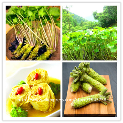 100pcs Wasabi Seeds send 300strawberry seeds gift, Japanese Horseradish Seed Vegetable Seeds Bonsai Plant DIY Home Garden Plants(China (Mainland))