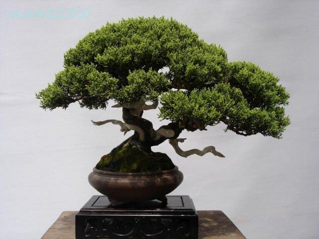 20pcs bag rare tree seeds italian cypress tree bonsai tree for Bonsai italia
