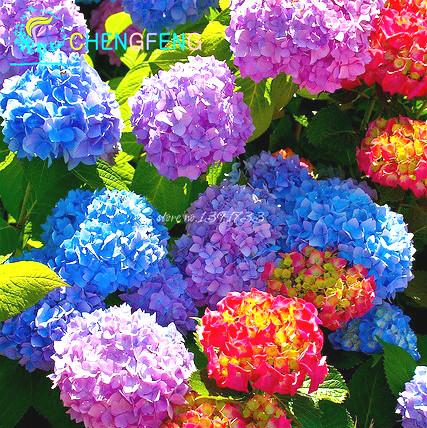 venta caliente hortensia unids mezclado hydrangea viburnum semillas de flores de plantas