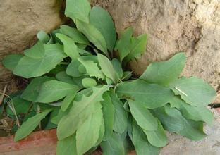 1000g plant extract powder 10:1 Herba Patriniae extract Patrinia extract