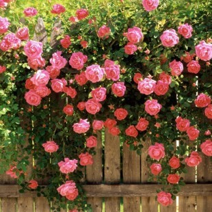 Free shipping 300 pieces (3 pack) Climbing Rose Seeds  Home & Garden.