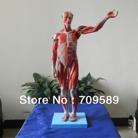 ISO Vivid Full Body Muscle Model with internal Organs