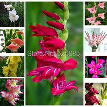 Gladiolus seeds, free shipping cheap Gladiolus seeds, Gladiolus  potted seed, Bonsai balcony flower - 100 pcs/bag(China (Mainland))