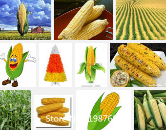 Promotion Rainbow corn seeds, vegetables seeds, grains and miscellaneous good quality maize seed, 10 particles / bag Novel Seed(China (Mainland))