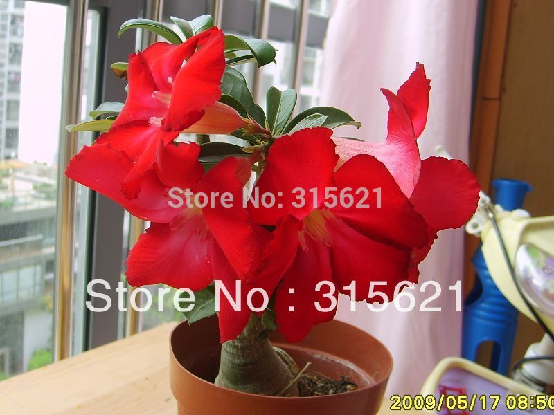 New Arrial Colorful Bonsai Desert Rose Adenium obesum Flower Seeds 25pcs Mix Seeds