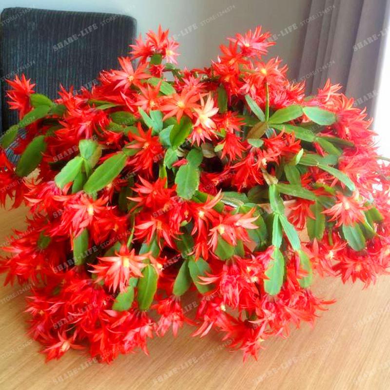 Comparer les prix sur epiphyllum plants online shopping for Plants de fleurs