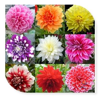 100 Seeds / Pack , Flower Seeds Type Ordinally Yukako Dahlia Bulbs Seeds Bonsai Flowers - Free Shipping !(China (Mainland))