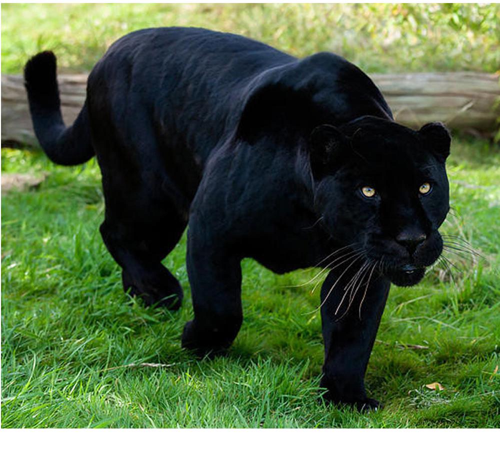 Алмазная вышивка чёрная пантера 43