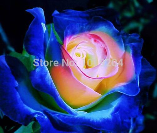 rare Japanese Smurfs rose seed, flower seeds - SPECIAL OFFER free shipping DIY home garden 20pcs C85(China (Mainland))