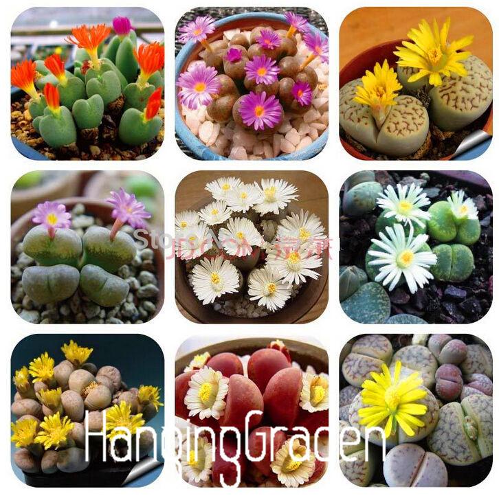 Гаджет  100 Rare Mix Lithops Seeds Living Stones Succulent Cactus Organic Garden Bulk Seed,#H0M572 None Дом и Сад