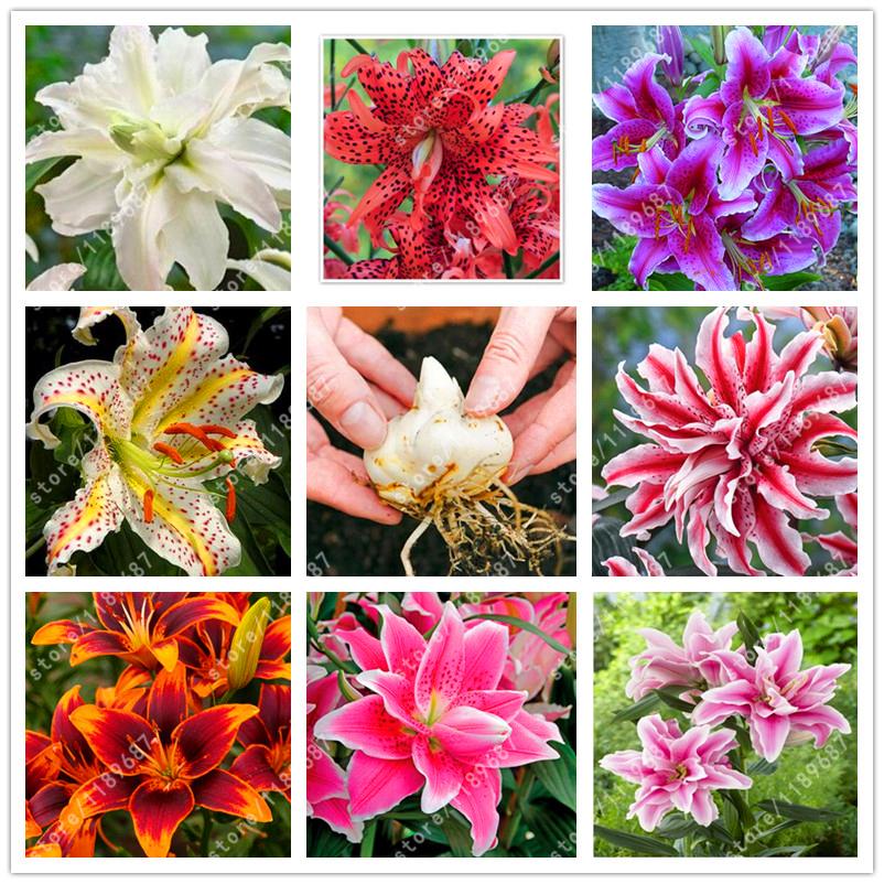Plantas de azucena compra lotes baratos de plantas de for Azucena plantas jardin