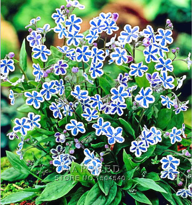 100 American forget-me-not Flower Seeds Starry Eyes Flower