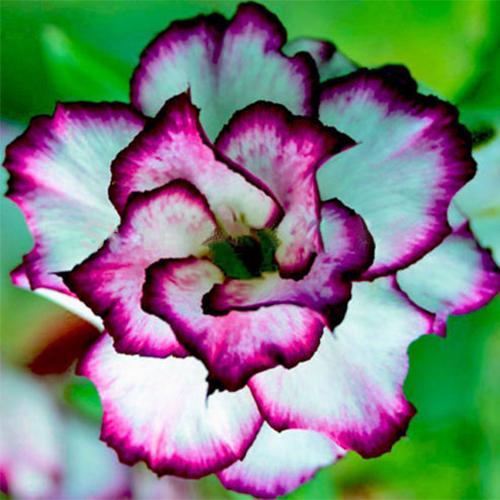 Rare Desert Rose Seeds White and Purple Side Garden Home Bonsai Balcony Flower Adenium Obesum Seeds