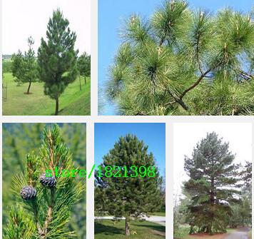 Arbre feuilles persistantes promotion achetez des arbre for Vente plante jardin
