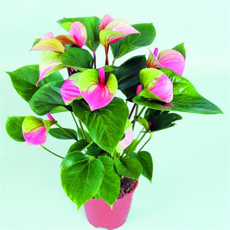 Rare Flower Seeds Pink+Green Anthurium Andraeanu Seeds Balcony Potted Flower Seeds for DIY Home Garden-30PCS(China (Mainland))