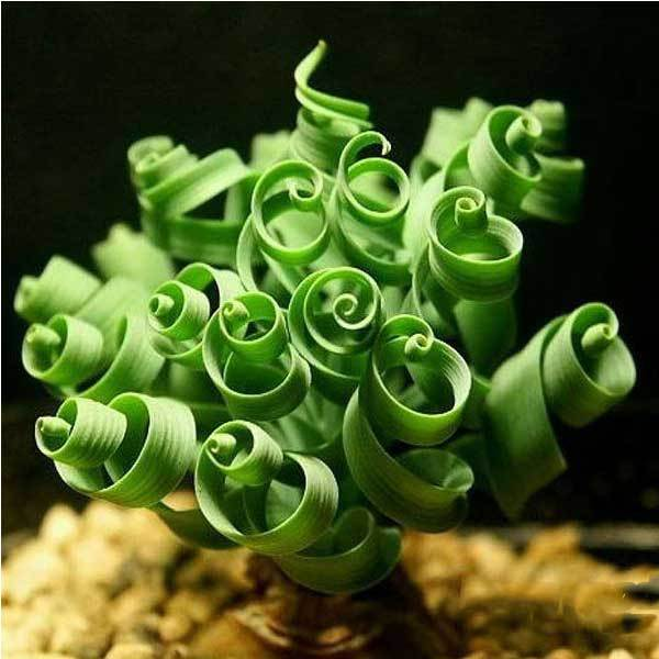 Bensley 10PCS Spiral Grass Seed Shape Like Spring Interest Bonsai Plant(China (Mainland))