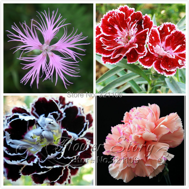 Promotion 200 Dianthus Seeds 16 kinds mixed packed Sweet William flower easy to grow high germination