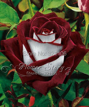 20  Abracadabra Rose seeds,rare color ,Osiria Rose  gorgeous flower  . the lover rose seed bonsai planting roses.Free Shipping(China (Mainland))