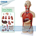 CMAM TORSO08 85cm Sexless Torso with Open Back 18 part Human Anatomy Model for Medical Science