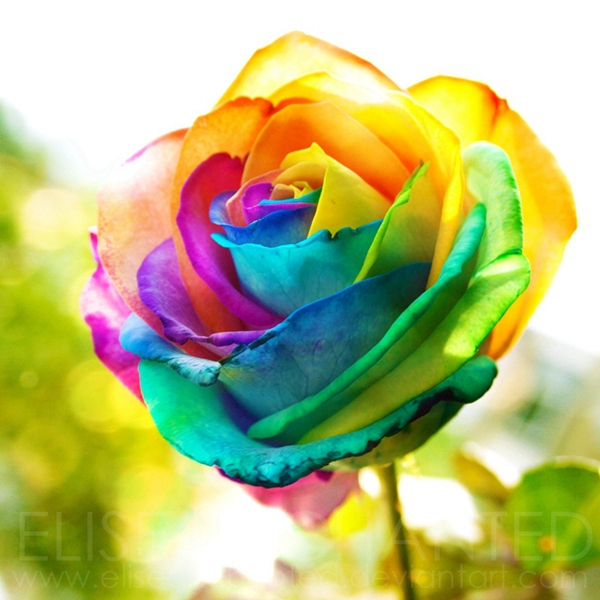Free shipping 20 rainbow rose bush seeds fragrant attract for Colorful roses images