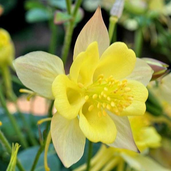 50 Yellow Columbine Flower Seeds Hummingbirds Butterflies Garden Free Shipping A188(China (Mainland))