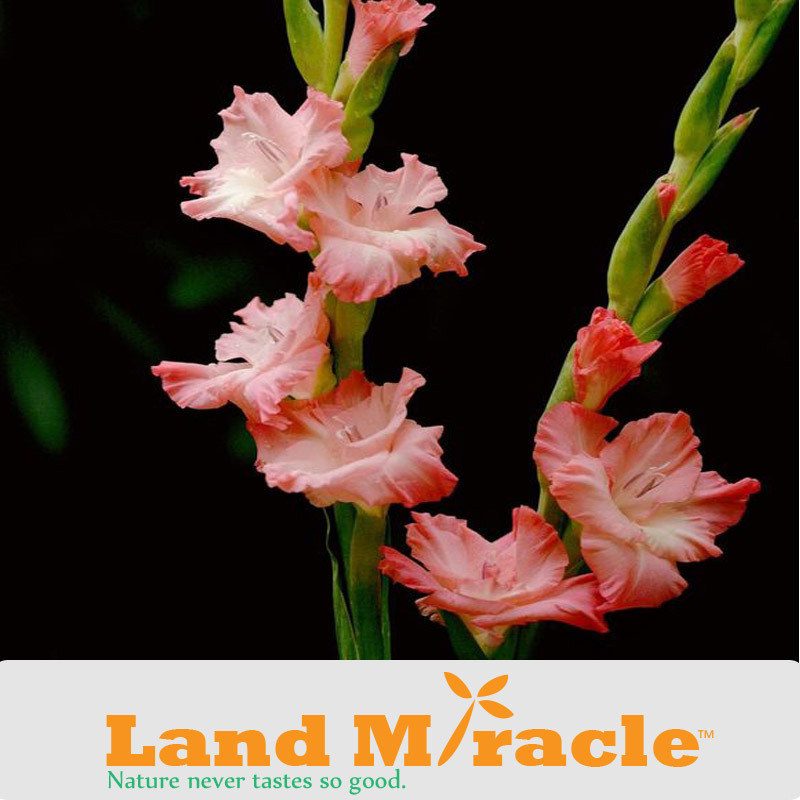 50 Seeds/pack, Gladiolus Seeds, Perennial Gladiolus Flower, Fragrant Sword Lily Seeds #A265(China (Mainland))