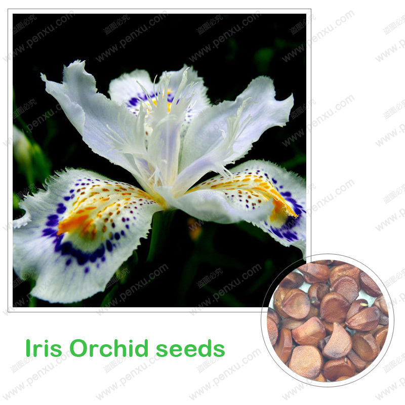 Iris orchid seeds,world rare species Iris tectorum seeds,houseplants clean the air 100% true seed in-kind shooting,100 pcs/bag(China (Mainland))