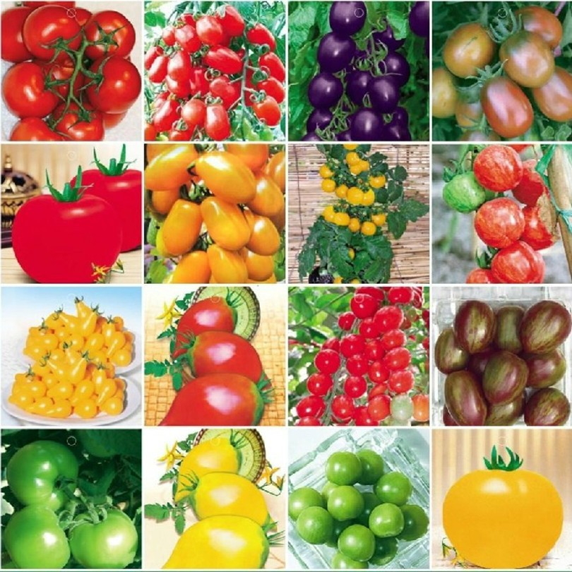 120PCS 24 KINDS Tomato Seeds Mixed Pack Purple Black Red Yellow Green Cherry Peach Pear Tomato Seed Organic Food Graden(China (Mainland))