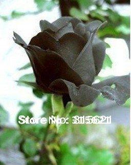 500 pcs High Quality Black Rose Flower Seeds
