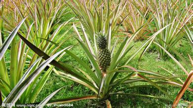 1000g 10:1 ananas extract pineapple extract