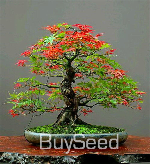 20PCS/bag 11 kinds Home Garden Plant Bonsai Tree Seeds Crimson Queen Seeds Mini Japanese Red Maple Seeds Semillas,#OMYCCV(China (Mainland))