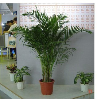 Карликовые деревья из Китая