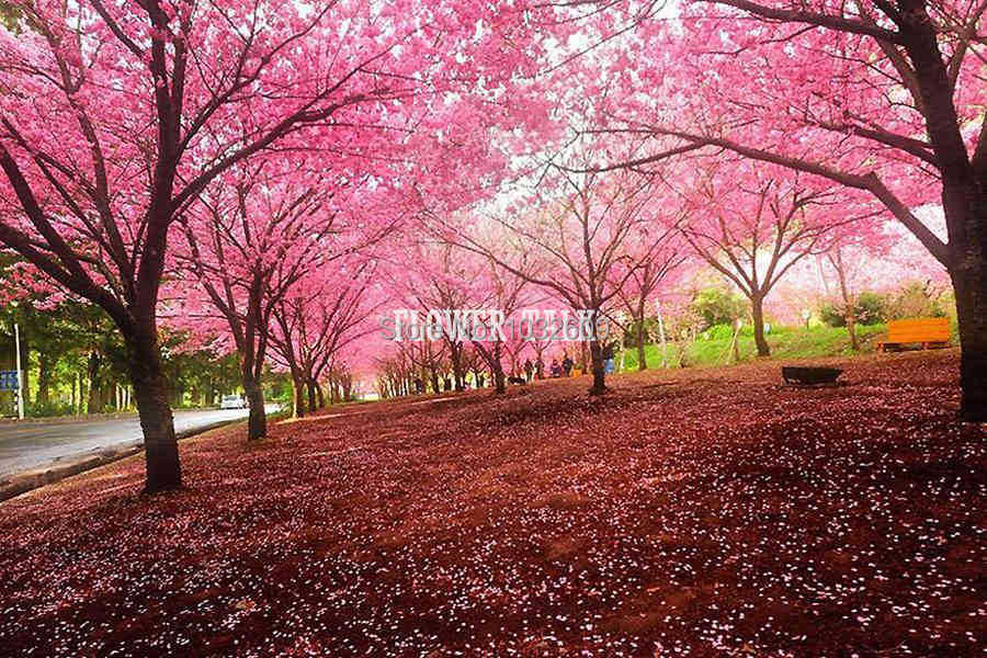 Hot selling 20pcs/bag sakura seeds Cherry blossom flower Seeds easy to plant semente de cerejeira sakura para jardim e bonsai(China (Mainland))
