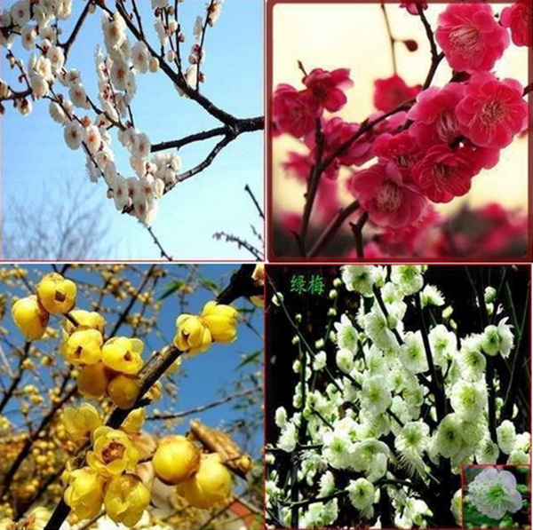 50pcs plum flower seeds,,potted plants, planting seasons, flowering plant,24 species selection(China (Mainland))