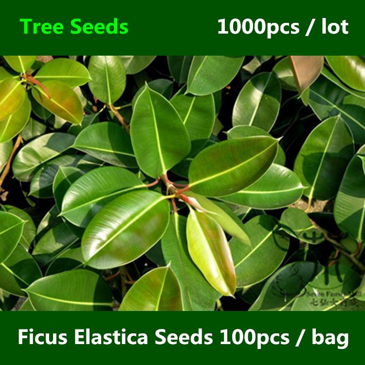 Fig tree plantes promotion achetez des fig tree plantes for Caoutchouc plante exterieur