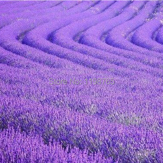 Big Promotion! 100 pcs Lavender Seeds Purple flower seeds Free Shipping by Hongkong Post(China (Mainland))