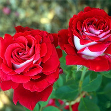 Hot Sale 20Pcs Rare Seed Osiria Rose Ruby Rose Flower Seeds Garden Plant Red with White Yard Courtyard Court Cortile Bonsai(China (Mainland))