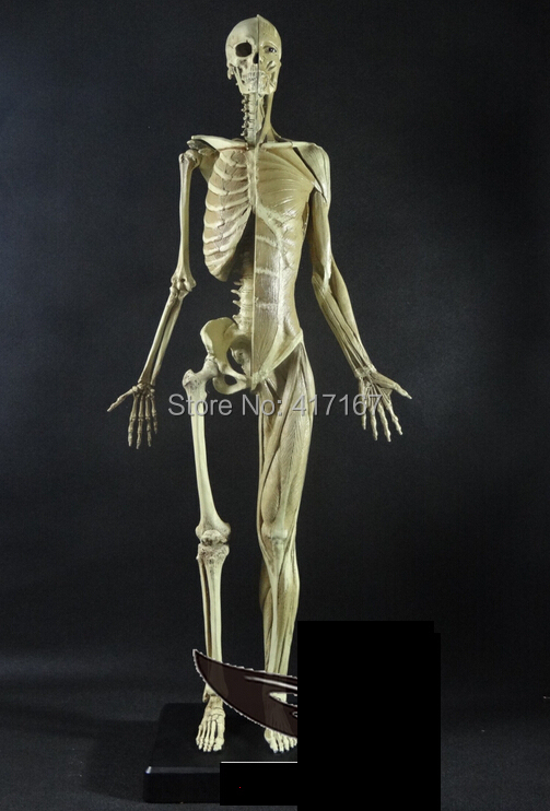 GK simulation PU edition art with the human body model 60cm Female skeleton model(China (Mainland))