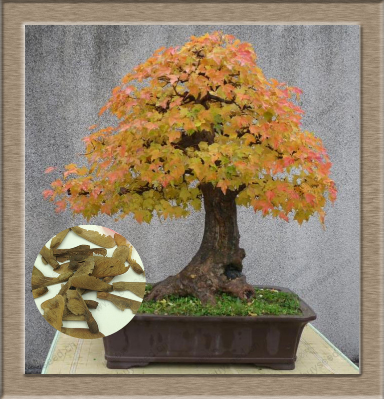 Mini Beautiful Japanese Red Maple Bonsai Seeds, DIY Bonsai FRESH MAPLE SEEDS, 30 particles / bag(China (Mainland))