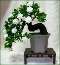 100 Gardenia Seeds (Cape Jasmine )-DIY Home Garden Potted Bonsai, amazing smell & beautiful flowers, Free Shipping